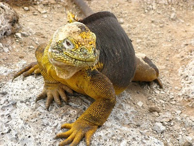 Featured Photo: Galapagos Iguana with an Attitude